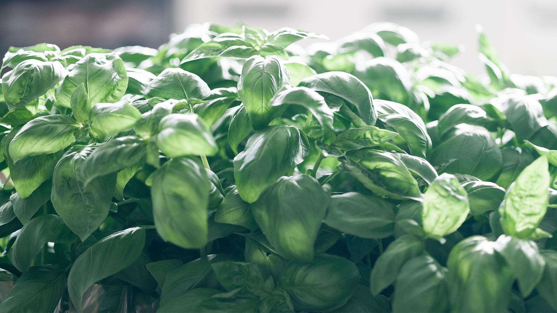 Basilico, fornitura frutta e verdura all'ingrosso | Due Erre Padova
